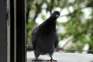 Толкование приметы, к чему на балкон залетает голубь: если з.